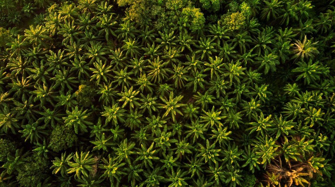 pálmaolaj ültetvény